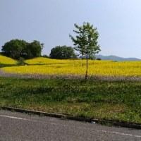 三ノ倉高原 菜の花開花状況(2017/5/23)