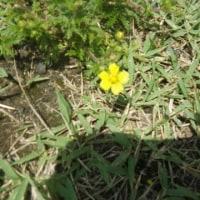 多摩川植物観察会がありました。