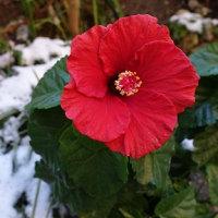 ハイビスカスの花と雪