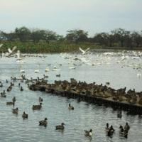 冬の使者(瓢湖の白鳥)