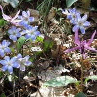 鶴岡高館山の早春の花 7-2 オオミスミソウ