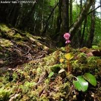 滝に咲く イワカガミ