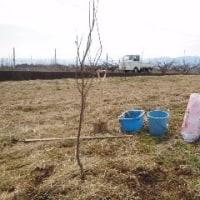 柿の苗木を植えました