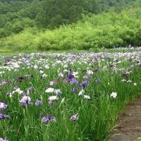 神楽女湖花しょうぶが満開見頃です