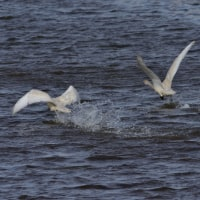 白鳥の小川 その3