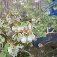 ブルーベリーの花も咲く