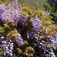 『藤の花』