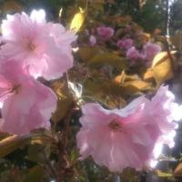 蓼科山荘より 今年の桜漬け・登山道の状況