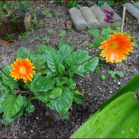 野菜苗の植え付け