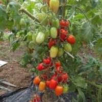 ジュリエットミニトマトの芽が・・・・