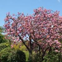 遅咲き八重桜