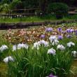 昭和記念公園 花便り 花菖蒲とホサキナナカマド 6月18日