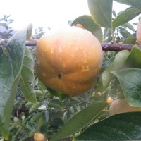 ブランドの柿原の柿「前川次郎」と淡いピンクの山茶花