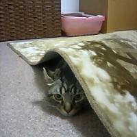 猫の のんきさん。