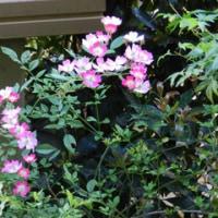 庭の草花(ミニバラ)
