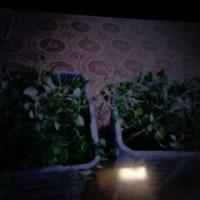 ドクグサを収穫しました