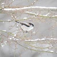 雪中鳥見 エナガ