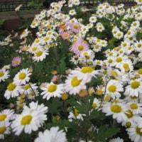 兵庫県の県花 のじぎくの花