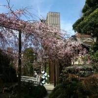 浦和 玉蔵院のシダレザクラ 2017 まだ5分咲き未満かな