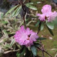 初夏の彩り 朱雀の庭~山野草(梅小路公園) 2017. 04. 29(土) 晴れ一時雨