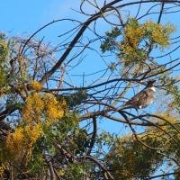 高台に咲くミモザアカシア