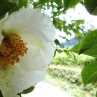 四季の花 7月 「沙羅双樹」
