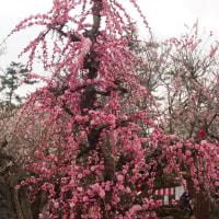 綱敷天満宮の梅の花。