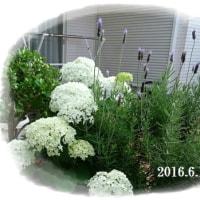 2月にセリンセが咲いた!