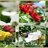 青い森公園に咲くバラの花etc