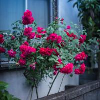 【May_18】薔薇の季節