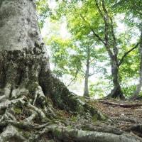 2017年6月20日(火) めっちゃキレイなブナ林が続く、百里ヶ岳はすばらしい!