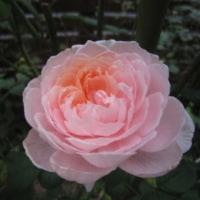 やっぱり寂しい秋のバラ