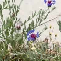 イランの遺跡に咲く野の花