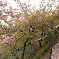 松田山のさくらまつり