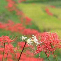 花木点景:曼珠沙華の里