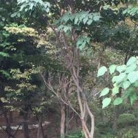 自宅の栗の木