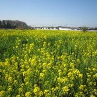 通勤途中の風景 横戸町の菜の花畑
