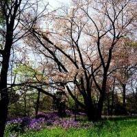 仕上げは石神井公園のヤマザクラ