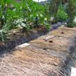 みごとな直立栽培のズッキーニと不耕起栽培のズッキーニ