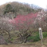 河津桜と梅見学