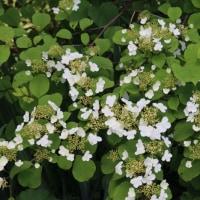 パンセの庭の花 5月26日 レンゲツツジ オオカメノキ