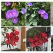 暑い中歩いている時に撮った花達です。