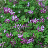 春の野の花~レンゲ