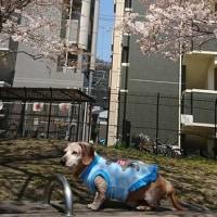 エスと桜(^^♪