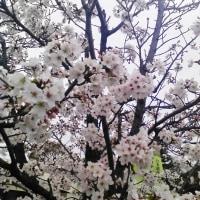 四季彩館 桜 4月8日 京都八幡