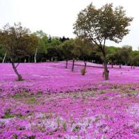 道東風景in滝上 「芝ざくら滝上公園」