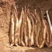 ナガイモ収穫             筒栽培以外のもの