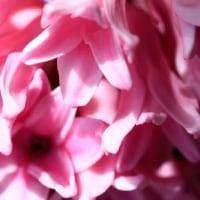 鉢植えのヒヤシンスが咲いた
