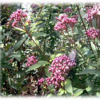 秋の七草 最終章(^^♪藤色で桜餅のような香りの「藤袴(ふじばかま)」