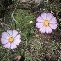 庭を  彩る  コスモス